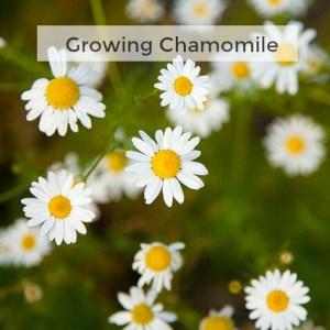 Herb Gardening 101: Growing Chamomile