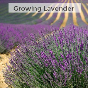 Herb Gardening 101: Tips for Growing Lavender