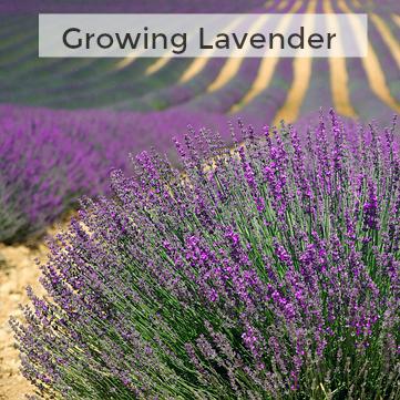 Herb Gardening 101: Growing Lavender