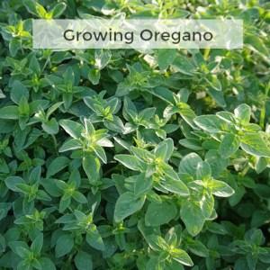 Herb Gardening 101: Tips for Growing Oregano