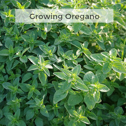 Herb Gardening 101: Tips for Growing Oregano