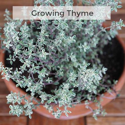 Herb Gardening 101: Growing Thyme