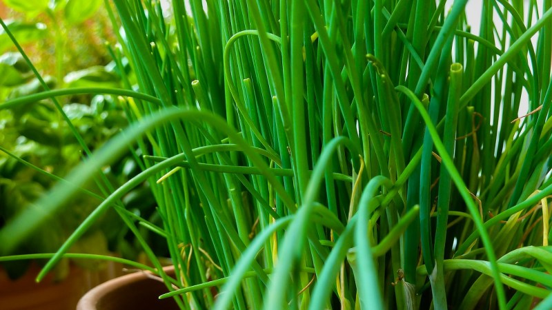 Top 3 herbs to grow indoors. Chives are one of the easiest herbs to grow indoors.