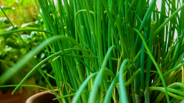 Herbs for shady spots: Chives do very well in partial shade.