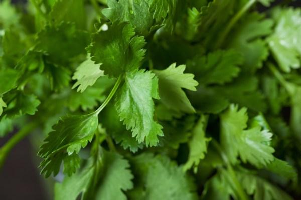 5 herbs to grow on your kitchen window sill: #3 Cilantro