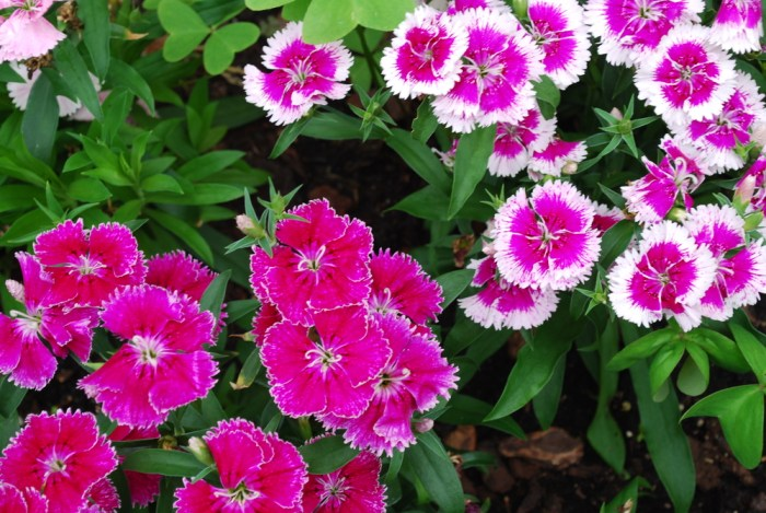 Beautiful herbs for the flower garden: Dianthus
