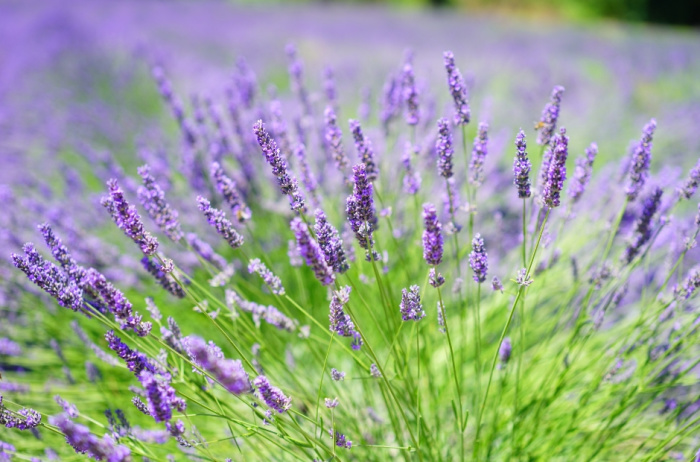 Herbs with beautiful flowers - Lavender