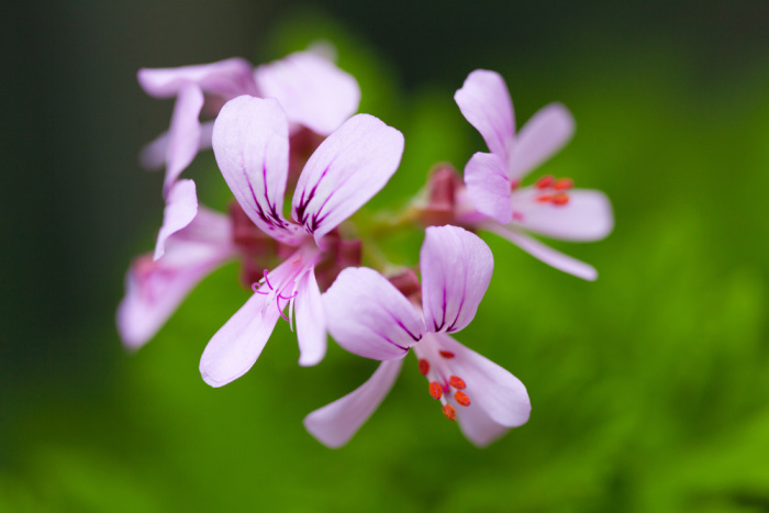 Beautiful herbs for the flower garden: Pelargonium or scented geraniums
