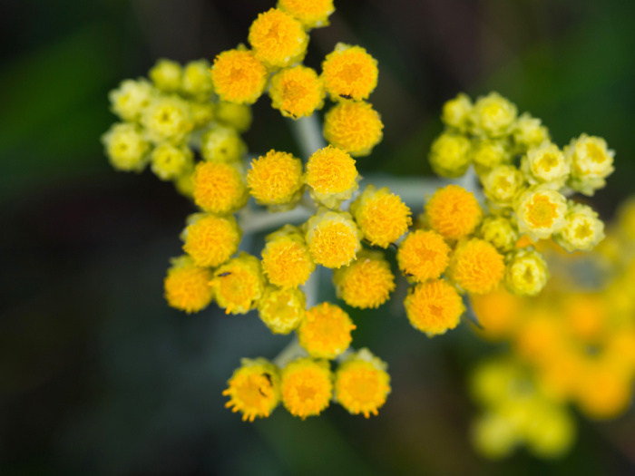 Herbs for the Flower Garden - Tansy