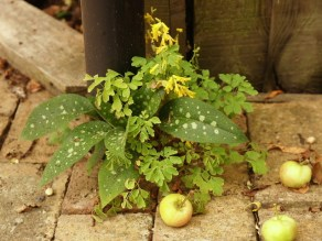 An accident of self seeded plants and fallen apples