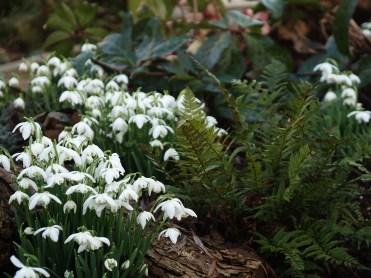 Snowdrops & ferns