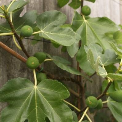 figs-close-up
