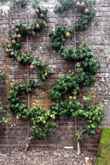 S shaped cordons (pear)