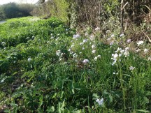 Drifts of Cardamine pratense along hedge near Oving, West Sussex