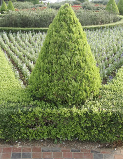 Rosemary bushes can be grown and shaped for Christmas decorations.