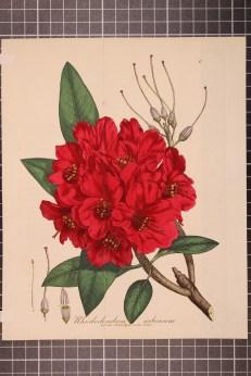 Rhododendron arboreum (8)