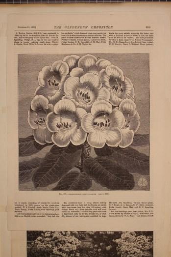 Rhododendron campylocarpum, Illustration