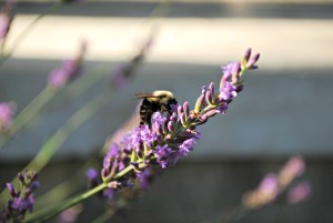 Lavender Blossom being visited by a bee. The fresh cut blossoms are great for making lavender water.