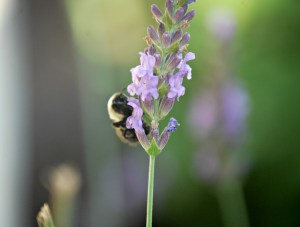 A fluffy bumble bee resting on a lavender blossom. The fresh cut blossoms are great for making lavender water.