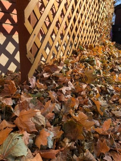 Golden sunshine and golden leaves.