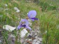 Disa purpurescens