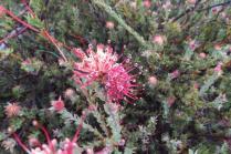 Leucospermum calligerum
