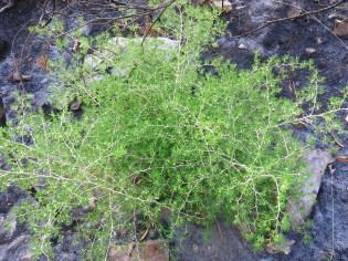 Asparagus lignosus
