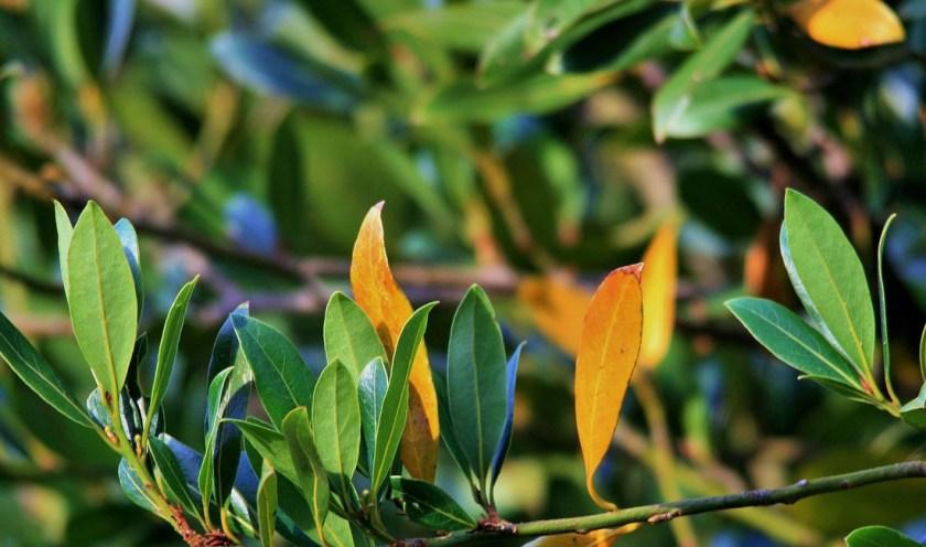 Bay leaves Uses