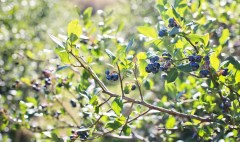uses of blueberry
