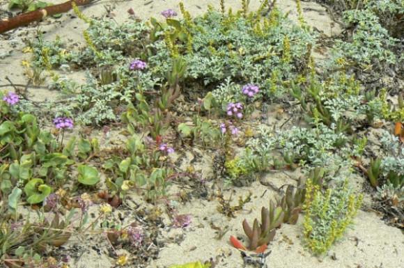 Beach Sand-Verbena, Beachbur, Beach Morning-Glory and Ice Plant in their natural habitat. Photo by Rondia Kaufer
