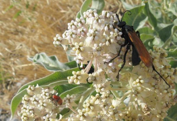 tarantula hawk on milkweed