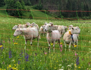 Herdenschutz in Tirol-15510.jpg