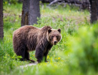 Diskussion über Abschuss von Wolf und Bär verhärtet sich immer mehr