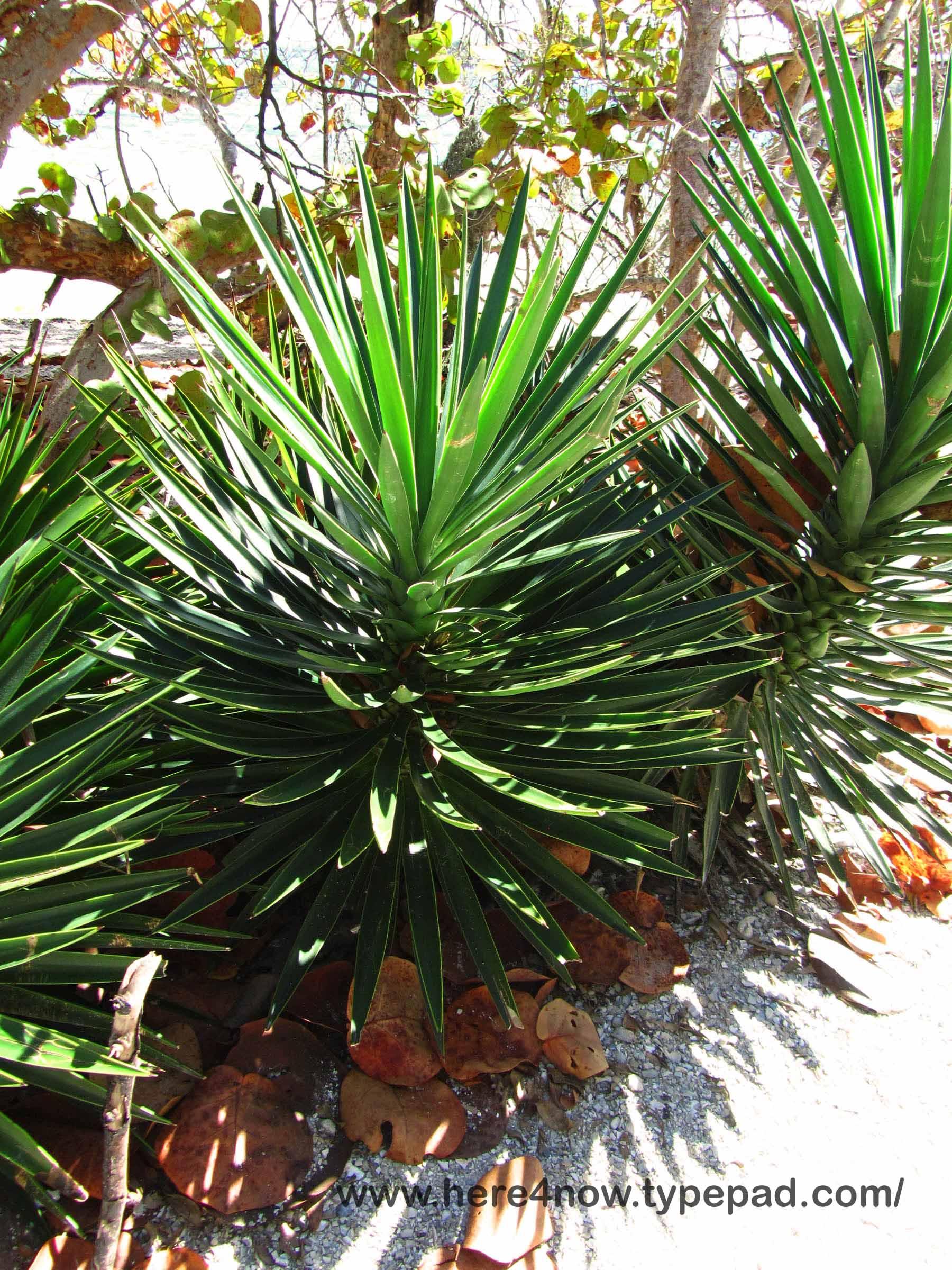 Spiky Palm Like Plant Garden Design Ideas