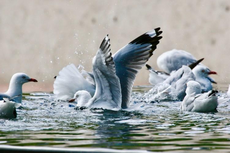 Silver Gull Larus novaehollandiae