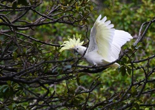 suphur-crested cockatoo cacatua galerita