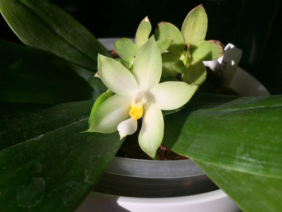 Phalaenopsis bellina var alba