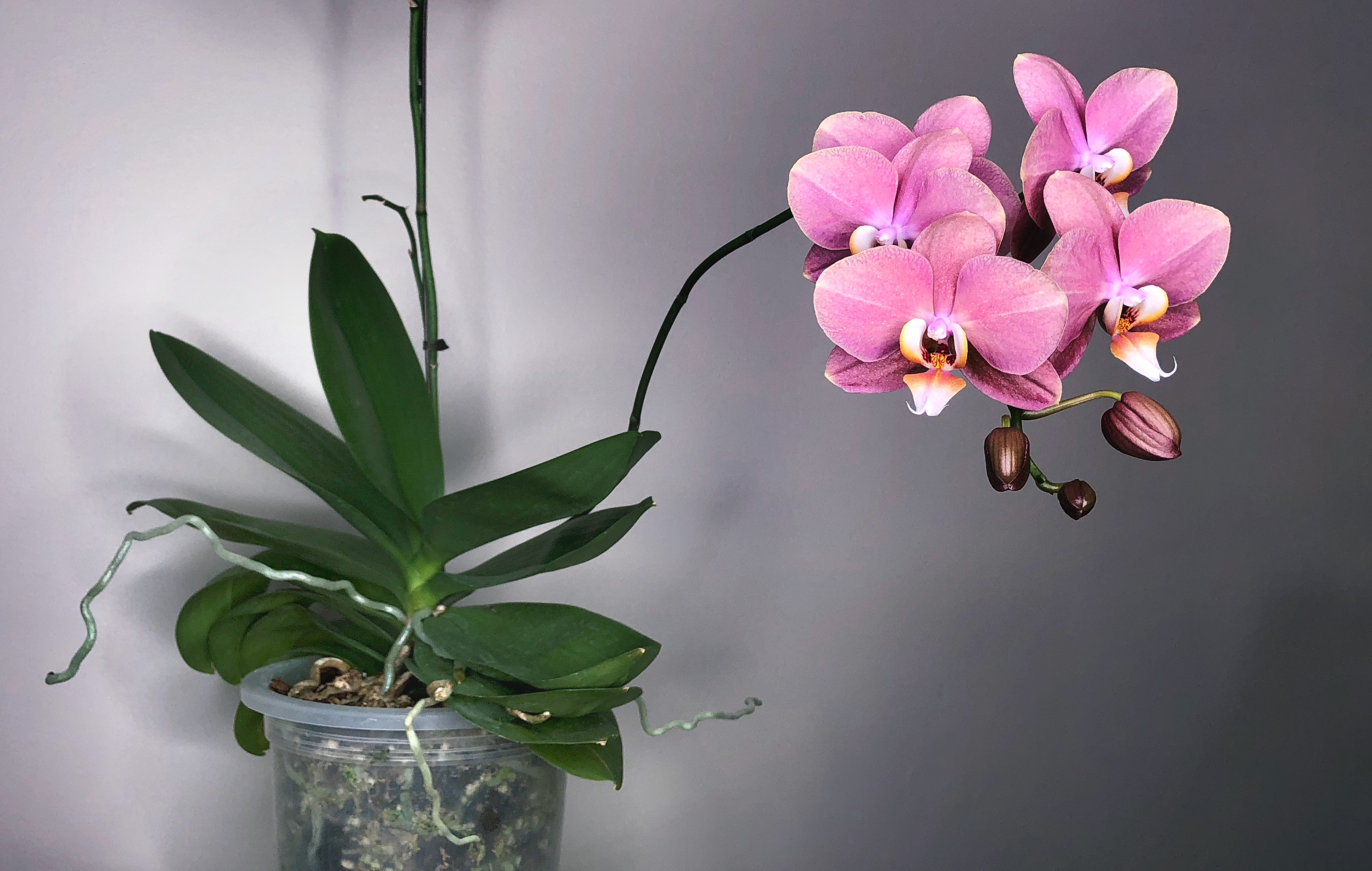The Beginner S Guide To Keeping Your Phalaenopsis Orchid Alive And