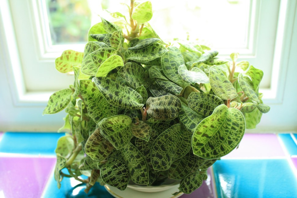 Macodes Petola Here But Not
