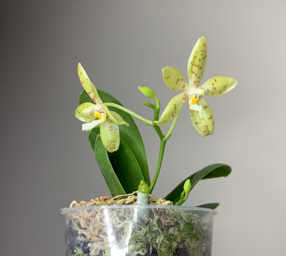 Phalaenopsis Pallens 187 Here But Not