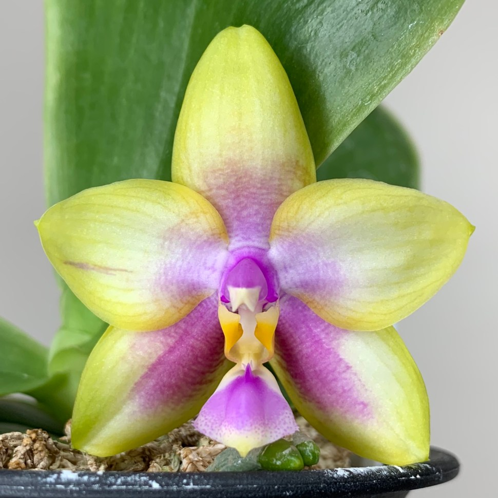 Phalaenopsis Kingfisher Lemon Drop - bloom #8