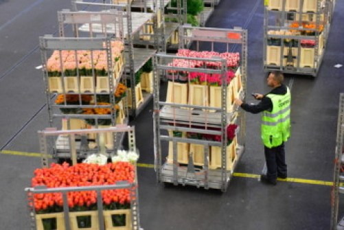 Workers moving flowers on trolleys at Aalsmeer Auction