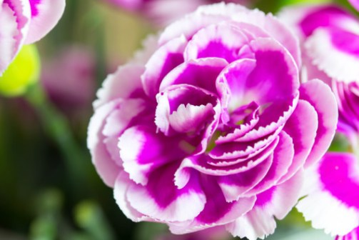 Pink and white carnation/Photo credit: shutterstock_292954028