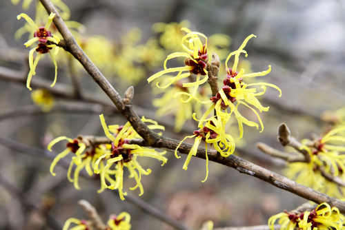 witch hazel blooms in February