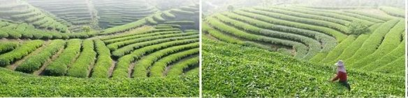 Kudzu farm in China
