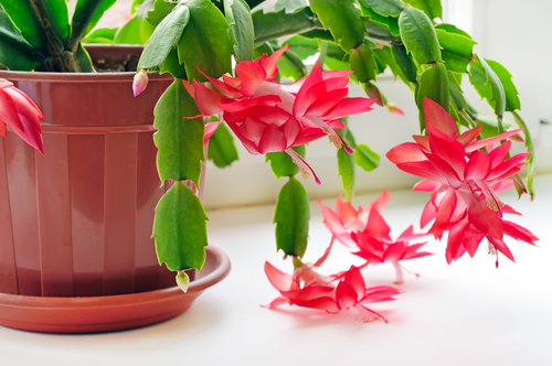 12 Top Flowering Houseplants for Easy-Care Blooms Indoors ... Red Blooming Houseplants on blooming trees, blooming leaves, blooming plants, blooming apples, blooming bromeliads, blooming large peony, blooming hibiscus, blooming iq, blooming weeds, blooming iris, blooming perennials, blooming annuals, blooming bonsai, blooming shrubs,