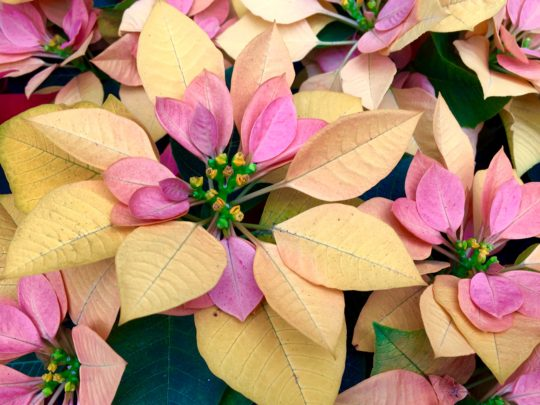 New Hybrids Promise To Rock Your Poinsettia World
