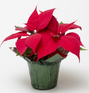 poinsettia in foil