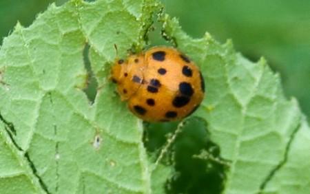 sq.beetle.adult4-2