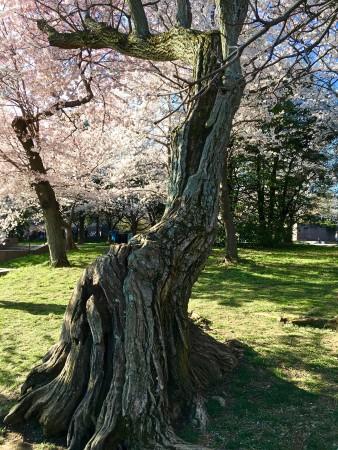 Old cherry tree in full bloom in Washington, DC.